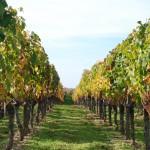 vignes_en_automne
